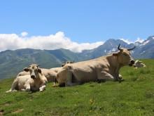vaches alpage